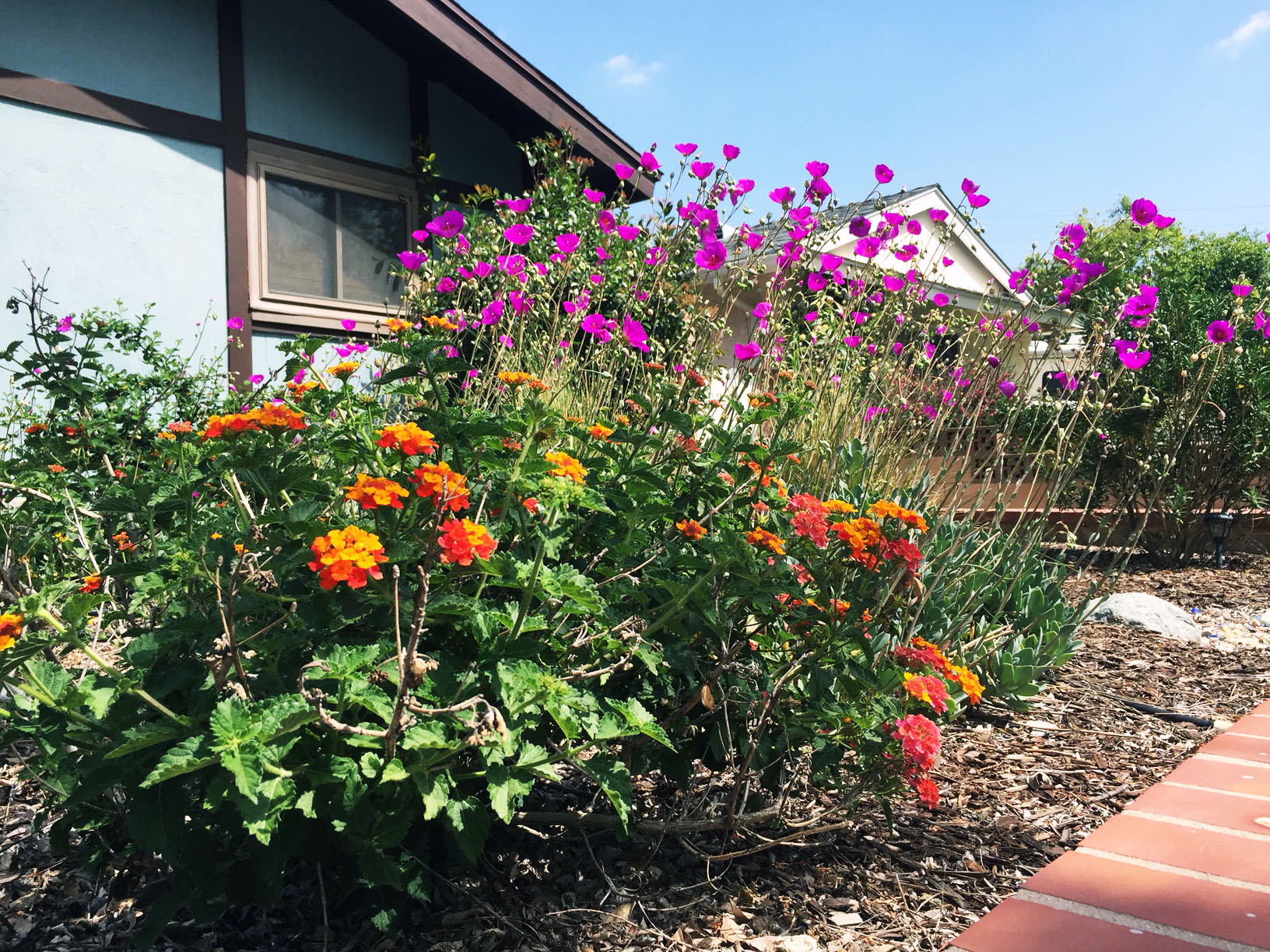 Lantana and calandrinia in a low-maintenance yard