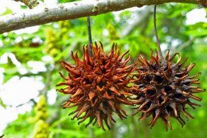 Liquidambar seeds