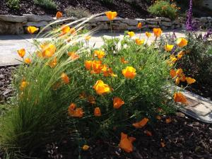Native poppies in the parking strip