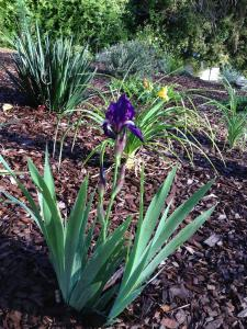 One corner of the yard is devoted to Irises and Daylilies