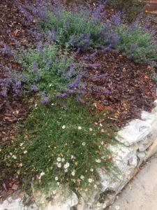 Nepeta (Catmint) and Erigeron (Santa Barbara Daisy) fill out in the lower yard
